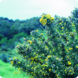 Gorse weed in flower