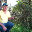 Busselton resident Richard Clark with the gorse plant he found on Wildwood Road and subsequently reported to the Department of Agriculture and Food.