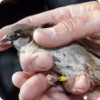 DPIRD has asked Fremantle residents to report any sightings of suspected house sparrows (male pictured) to prevent this agricultural and environmental pest from becoming established in WA.