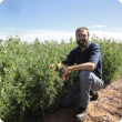 DPIRD research officer Martin Harries inspects a field pea crop which growers can consider as a 'break crop' alternative to sowing wheat and canola.