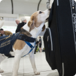 The detector dogs on the job at Perth Domestic airport, sniffing out threats. The dogs will be at the Perth Royal Show daily between 2pm and 3pm in the department's pavilion.