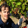 Department of Agriculture and Food viticulture research officer Richard picks Shiraz clone grapes for the 2015 research wine vintage.