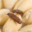 Two red flower beetles on grains of wheat