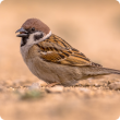 Residents living in and around Kununurra and Wyndham are asked to keep an eye out for sparrows and report any sightings immediately to the Department of Primary Industries and Regional Development.