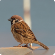Residents living near seaports are asked to keep an eye out for sparrows or other unusual birds. (Photo supplied by Faye Myers)