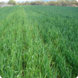 Nitrogen deficiency on unburnt header row