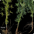 Paler plants with fewer or inactive root nodules