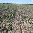 Low plant density in Salmon gums trial