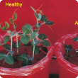 Affected plants are smaller and often darker