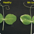 New leaves develop light coloured necrotic areas on leaf margins near the apex