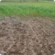 Poor weed and pea germination due to wet saline soil