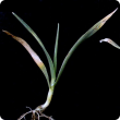 Phosphorus deficient seedling