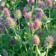flowers of eastern star clover