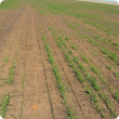 Uneven germination and stunted plants that often occur along drill rows