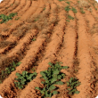 Patchy canola germination restricted to water-gaining places
