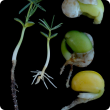 Malformed and broken (centre, right) seedlings