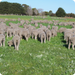 A mob of prime lambs grazing a clover based pasture