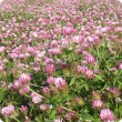 Primo gland clover in flower