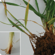 Roots and underground portions of stems of the left plants are chewed giving a shredded appearance