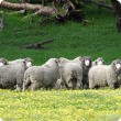 Sheep grazing green pastures in warm times of the year may be at risk of haemonchosis.