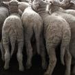 Unmarked Merino lambs in the yard