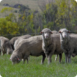 Sheep grazing in open field