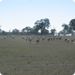 weaner sheep in a paddock at the breeak of season.