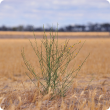 Landholders are urged to check their paddocks for skeleton weed over summer.