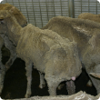 sheep showing weight loss typical of OJD