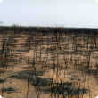 Soft spinifex plains pasture after intense fire, note wattle stem density