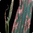 Oat leaves displaying water soaked appearance with red-brown longitudinal stripes typical of stripe blight
