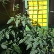 Trapping for tomato potato psyllid