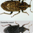 Vegetable weevil (top), desiantha weevil