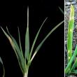Pale leaf blotches at different sites on successive leaves.