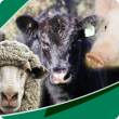 WA Livestock Disease Outlook newsletter image of sheep, cattle and pigs