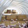 Weaner pigs in deep litter eco-shelter
