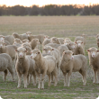 weaner sheep