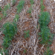 Poor growth within and between seeding rows