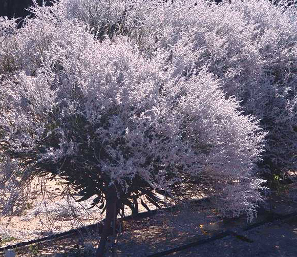 Smokebush For Cutflower Production Agriculture And Food